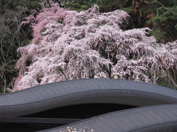 Cherry blossoms in Minobu, Kuonji Temple